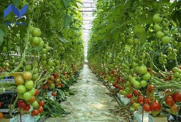Bông khoáng Rockwool trồng rau sạch – Ngạc nhiên chưa
